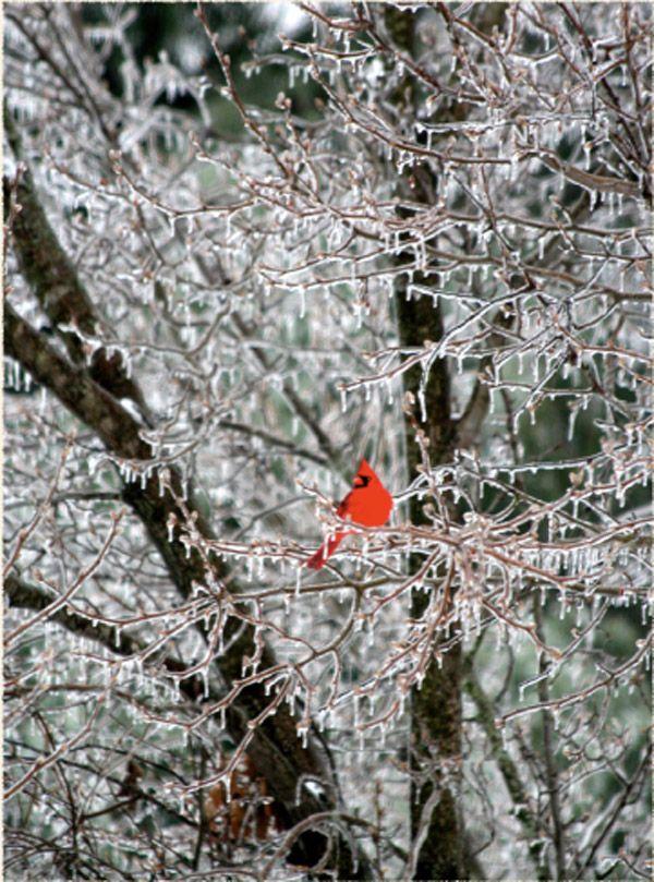 cardinal ice storm