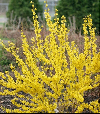 Forsythia Show Off 7523 lr1