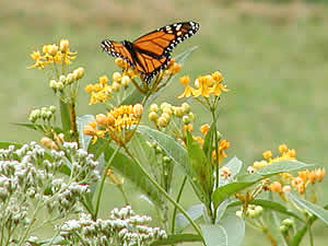 05butterflies-monarch-milkweed