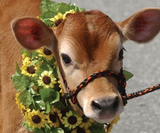 calf-with-flowers