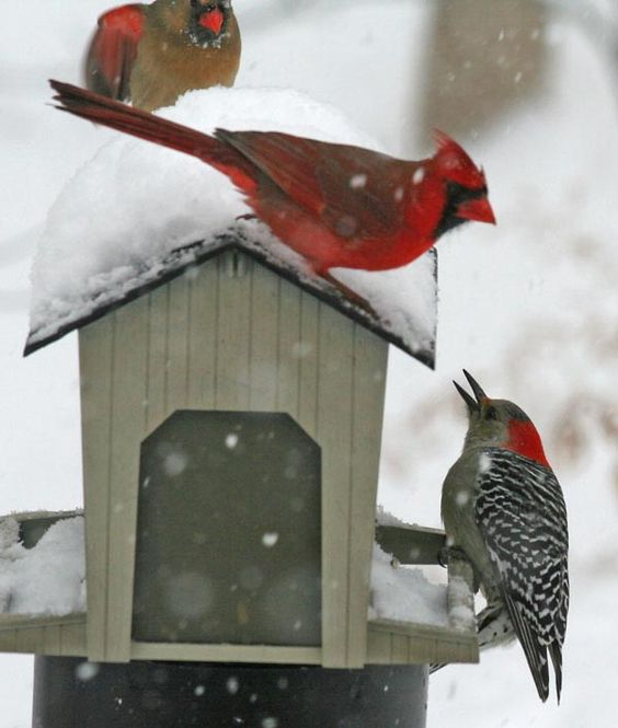 female Red-bellied Woodpecker with Cardinals