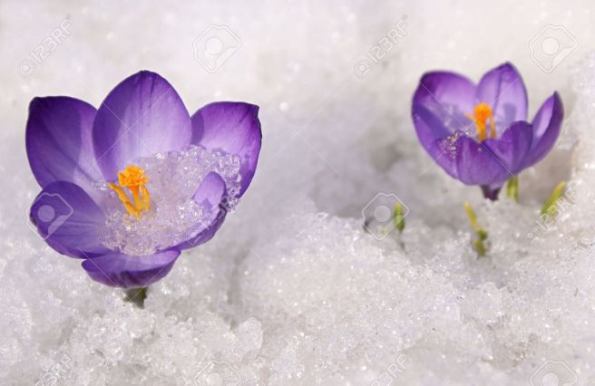 8063720-Violet-crocuses-flowers-on-snow-white-background-Stock-Photo-snow-crocus-flower