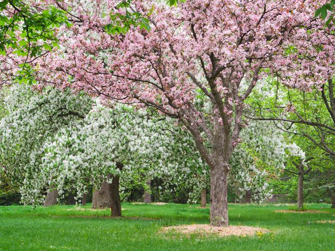 crab_apple_tree_istock_vpr