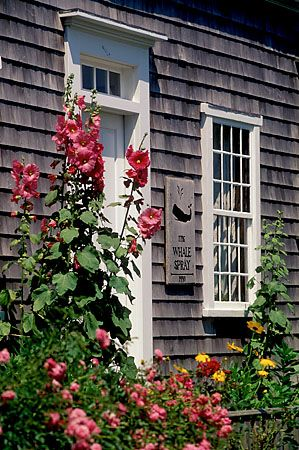 MA:Nantucket,Hollyhocks