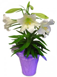 easter-lily-potted-plant.365