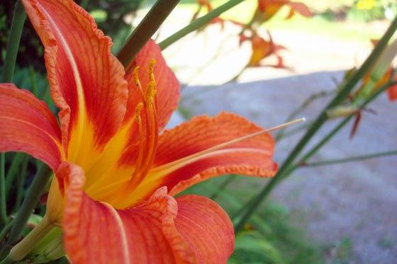 lilies42