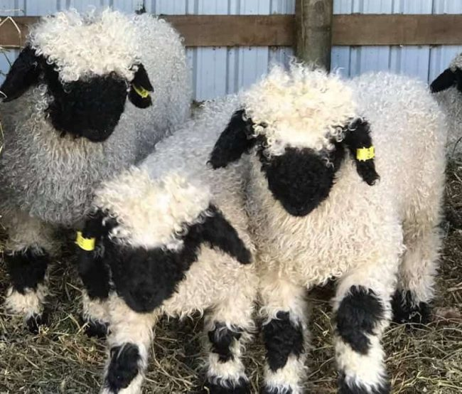 blacknose-sheep-look-just-like-stuffed-animals-and-make-great-pets7-650x554-1